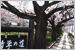 京都  桜哲学の道
